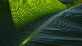 Grüne Blattbeschaffenheit der Banane Stockfotografie