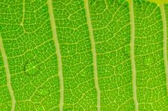 Grüne Blattbeschaffenheit mit Wassertropfen Stockbilder