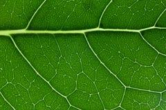 Grüne Blattbeschaffenheitsnahaufnahme, die Adermuster zeigt Stockfotografie