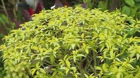 Grüne Blattblumenanlage im Garten Stockbild