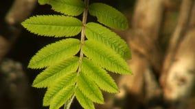 Grüne Blatteberesche sonnenbeschien stock footage