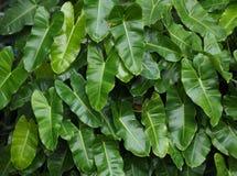 Grüne Blattherzform im Garten Stockbilder