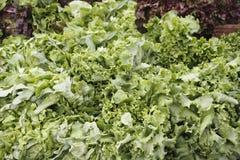 Grüne Blattkopfsalatbildschirmanzeige Stockfoto
