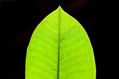 Grüne Blattnahaufnahme auf schwarzem Hintergrund Stockbilder