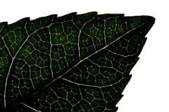 Grüne Blattnahaufnahme, Makrobeschaffenheit Negative Ansicht Stockbild