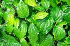 Grüne Blattnatur der Nahaufnahme für Hintergrund Lizenzfreie Stockfotografie