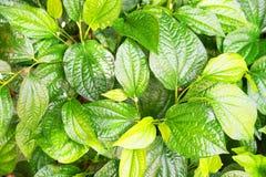Grüne Blattnatur der Nahaufnahme für Hintergrund Stockbild