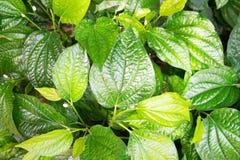 Grüne Blattnatur der Nahaufnahme für Hintergrund Stockfotografie