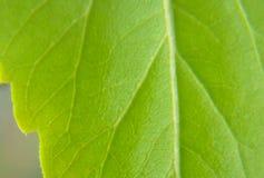 Grüne Blattzimmerpflanzenahaufnahme in der Makrobeschaffenheit lizenzfreie stockfotografie