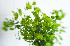 Grüne Blume Euphorbiengummi cyparissias Zypressen-Wolfsmilch Stockfoto