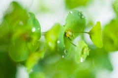 Grüne Blume Euphorbiengummi cyparissias Zypressen-Wolfsmilch Lizenzfreie Stockbilder