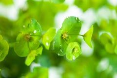 Grüne Blume Euphorbiengummi cyparissias Zypressen-Wolfsmilch Stockbilder