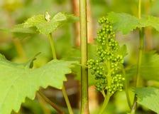 Grüne Blumen der Traube Stockfotos