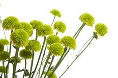 Grüne Blumen getrennt auf Weiß Stockfotos