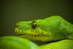 Grüne Boa auf einem grünen Hintergrund stockbild