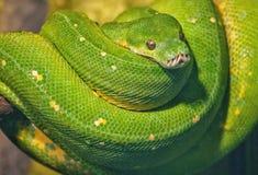 Grüne Boa balled oben auf Baumast mit Kopf auf die Oberseite Stockfotos