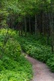 Grüne Bodendecke-Flanken bestreuen Spur im Sommer-Wald mit Kies stockfotografie