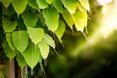 Grüne bodhi Blätter lizenzfreie stockfotografie