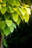 Grüne bodhi Blätter stockfoto