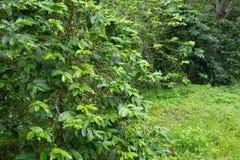Grüne Bohne Stockbilder