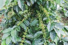 Grüne Bohne des Kaffees Lizenzfreies Stockfoto