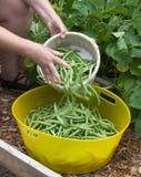 Grüne Bohnen, die in gelben Behälter fallen Lizenzfreies Stockfoto
