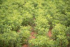 Grüne Bohnenstange verlässt Hintergrund Stockfotos