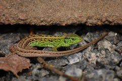 Grüne braune Eidechse Stockbild