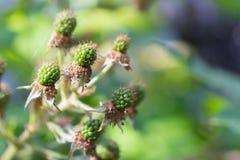 Grüne Brombeere im Sommer mit Spinnennetz im Garten Lizenzfreie Stockbilder