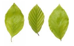 Grüne Bucheblätter Stockfoto