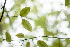 Grüne Buchenbaumblätter Stockfotografie