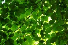Grüne Buchenbaumblätter stockfotos