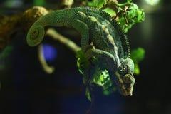 Grüne Chamäleone, die Blättern um sie ähneln stockbild