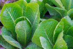 Grüne choy Summe im Wachstum am Gemüsegarten Stockbilder