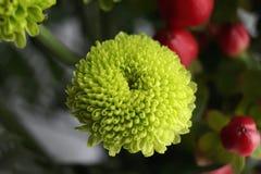 Grüne Chrysantheme Stockfotografie