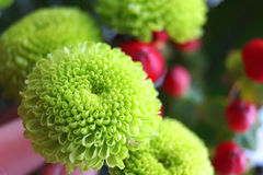 Grüne Chrysantheme Lizenzfreies Stockbild