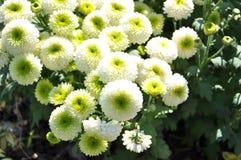 Grüne Chrysantheme-Blumen Stockfoto