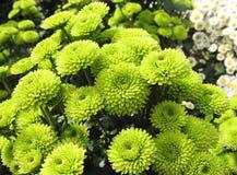 Grüne Chrysanthemen lizenzfreies stockbild