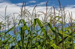 Grüne cornstalks mit blauem Himmel Stockfotos