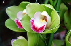 Grüne Cymbidium- oder Orchideenblume stockfoto