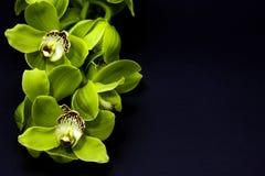 Grüne Cymbidium-Orchidee auf einem schwarzen Hintergrund stockfotografie
