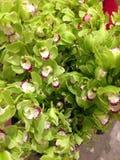 Grüne Cymbidium-Orchideen-Blumen lizenzfreie stockbilder