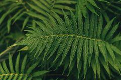 Grüne dünne Palmblattanlage, die in den wilden, tropischen Forstpflanzen, immergrüne Rebabstrakte Farbe wächst stockfoto