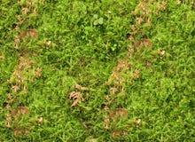 Grüne der Nahaufnahme neue und gelb gefärbte getrocknete Moosbeschaffenheit lizenzfreies stockbild