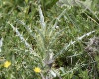 Grüne dornige Anlage mit länglichen Blättern und den scharfen Dornen stockfoto