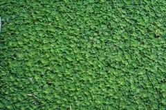 Grüne duckweeds im Sumpf Stockbilder