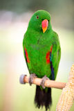 Grüne eclectus Papageien Stockbild
