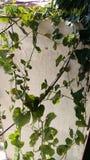 Grüne Efeu Kürbisblätter stockfotografie