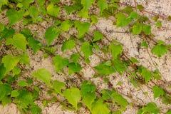 Grüne Efeublätter auf einer hellgelben Wand Stockfotos