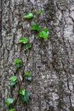 Grüne Efeurebe, die auf den Baumstamm kriecht Lizenzfreie Stockfotos